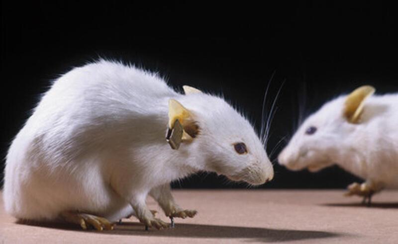 """Die """"Krebsmaus"""" der Harvard Universität war die erste Maus mit humanem Krebsgen. © Science Museum South Kensington"""