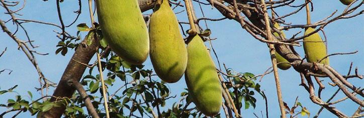 Baobab Die Frucht Des Methusalem